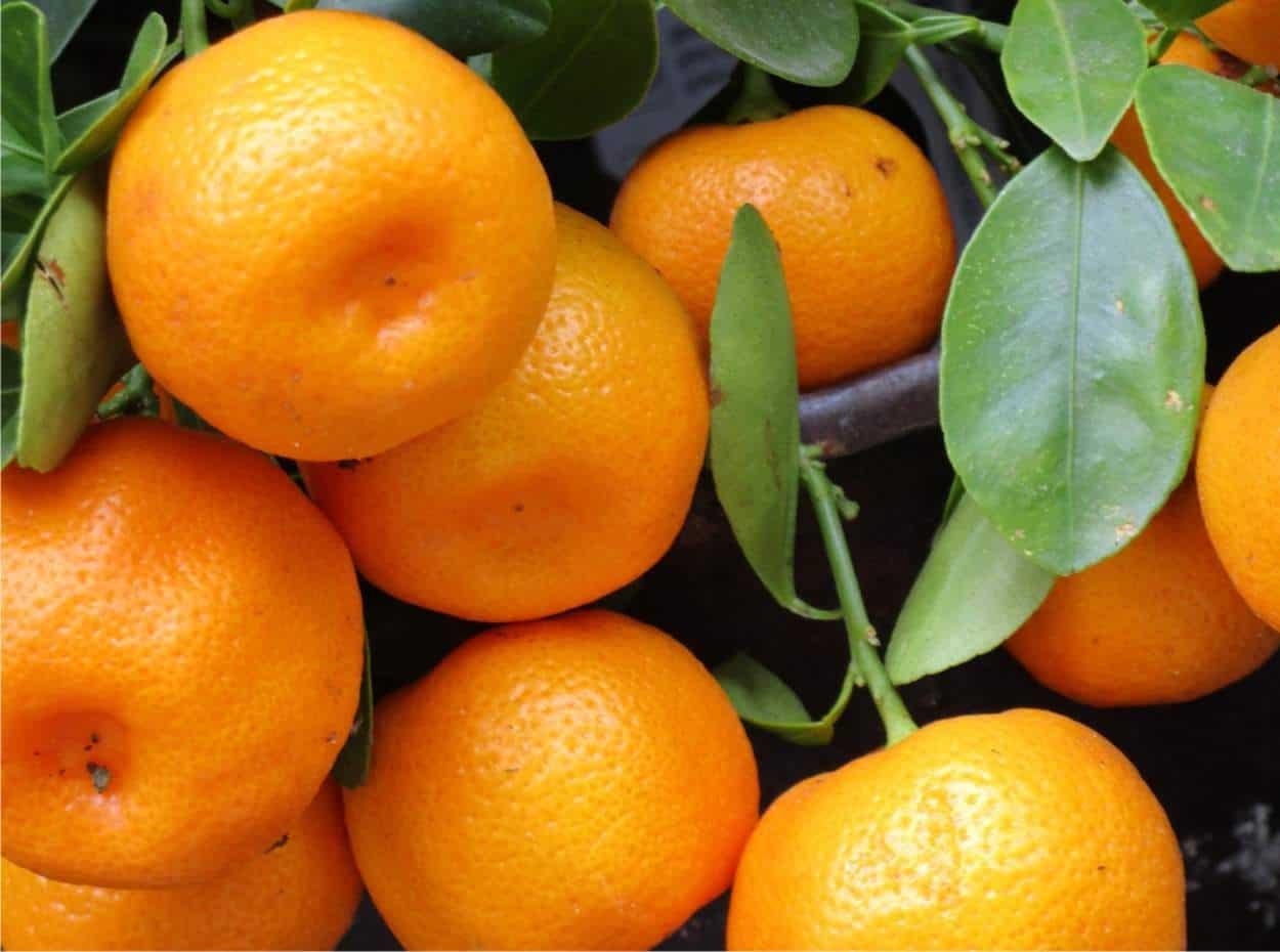 frutti di mandarino