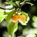 Nespolo giapponese: caratteristiche e coltivazione