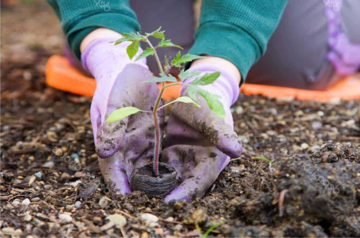 Come Far Morire Una Pianta piantare pomodori: come e quando trapiantare le piantine