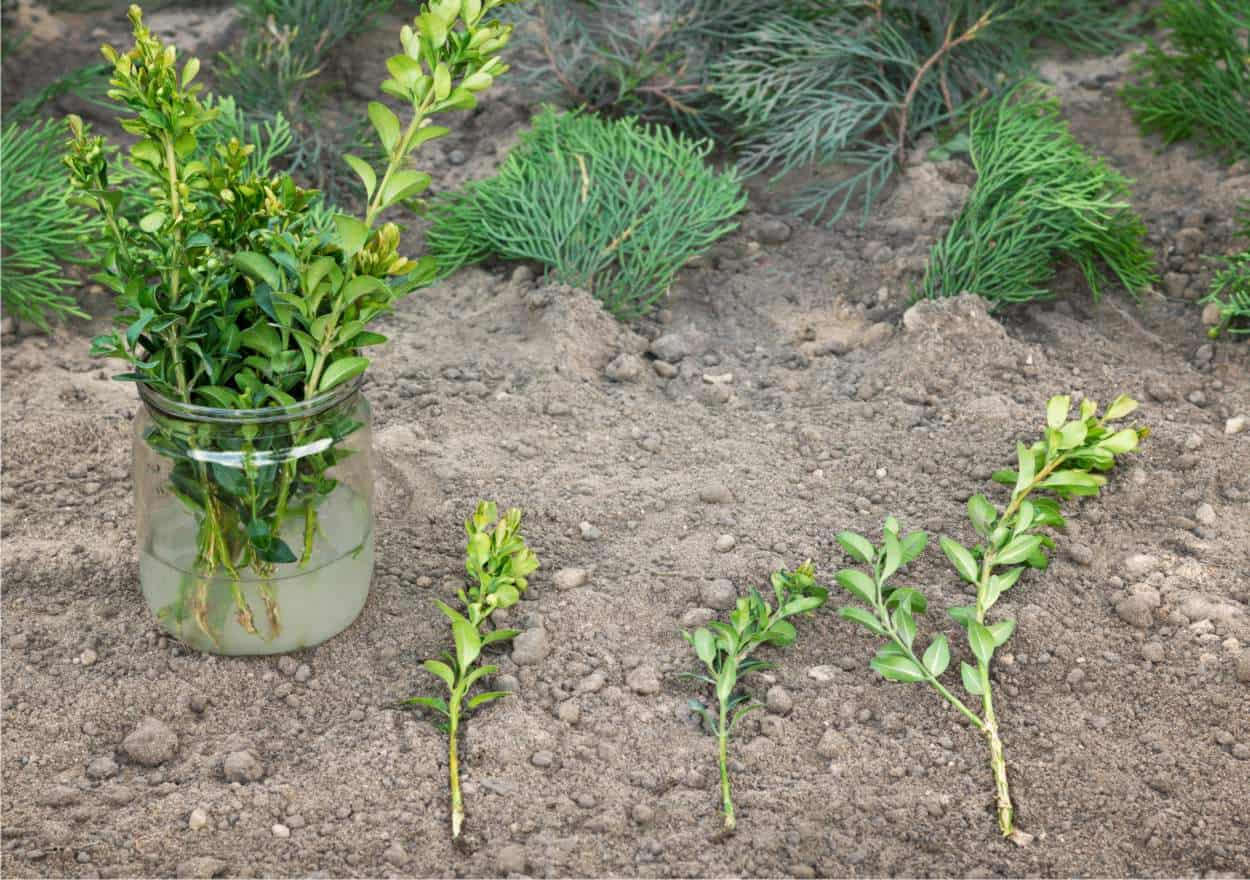 Quando Potare Il Bouganville talea: tecnica di moltiplicazione vegetale, cos'è e come fare