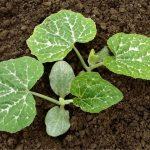 Piantare le zucchine: come e quando si trapianta