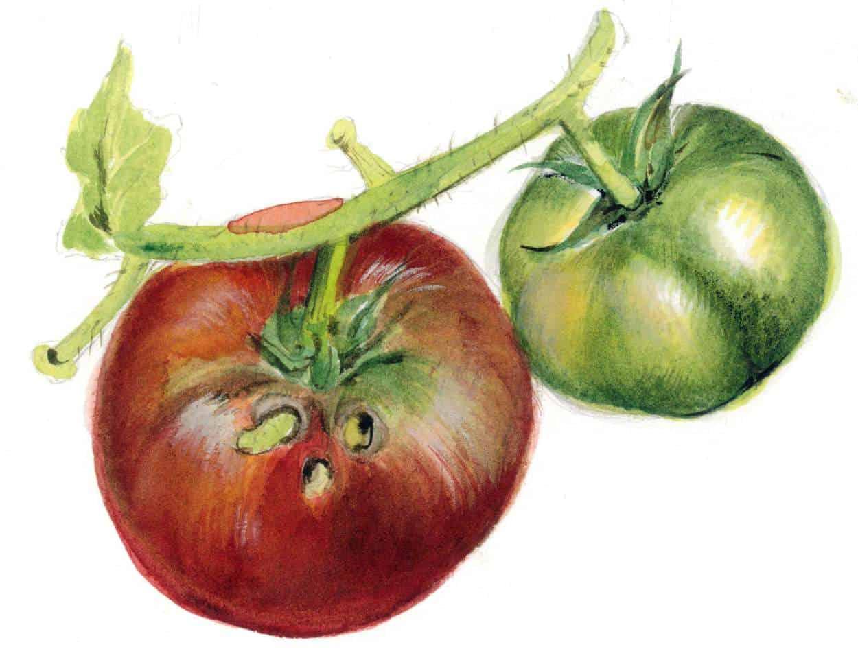 danni della nottua ai pomodori
