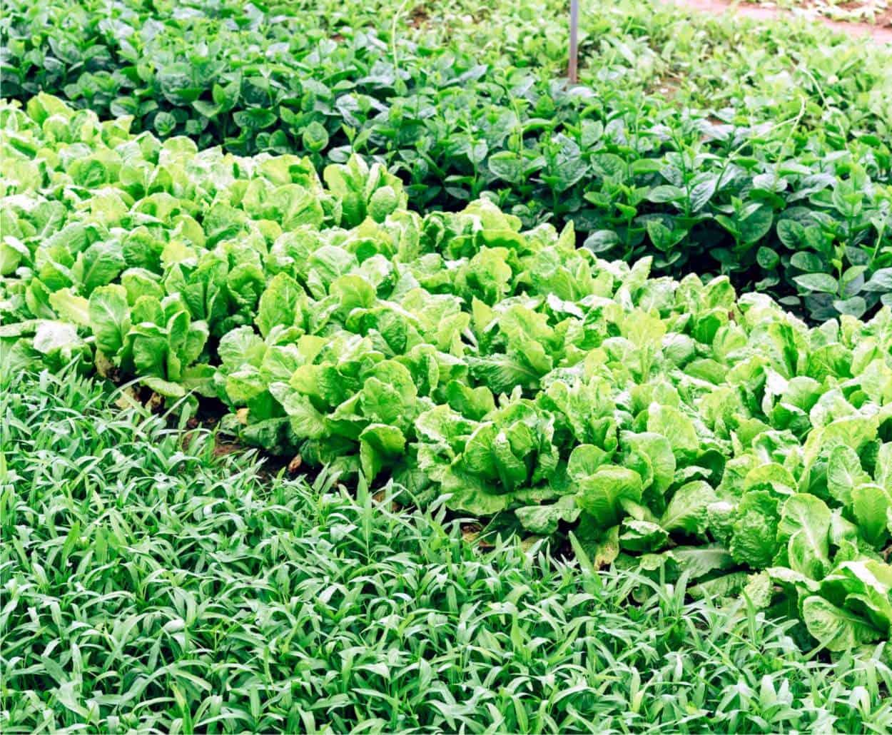 insalate nell'orto