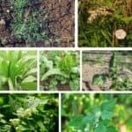 Principali erbe infestanti dell'orto