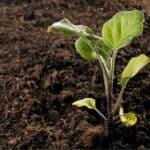 Piantare melanzane: come fare e periodo di trapianto