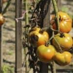 Insetti e malattie dell'orto di giugno (con soluzioni bio)