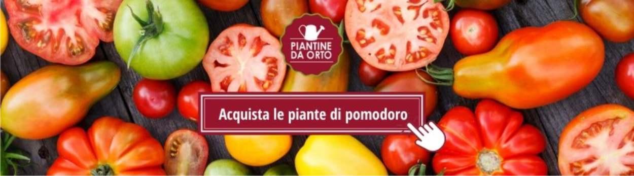 vivaio online di piantine di pomodoro