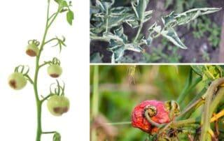 problemi dei pomodori