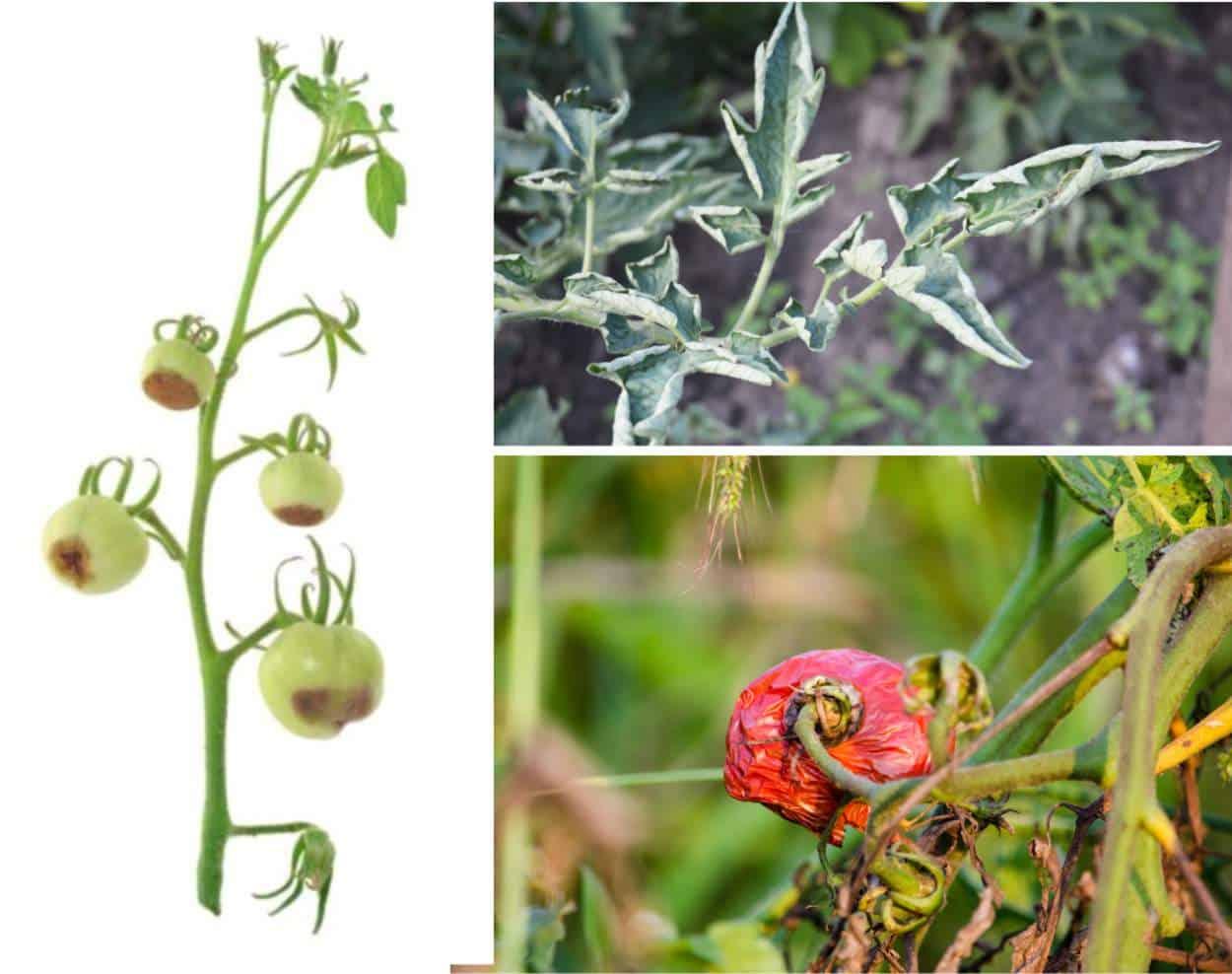 Problemi ai pomodori: identificazione e soluzioni bio
