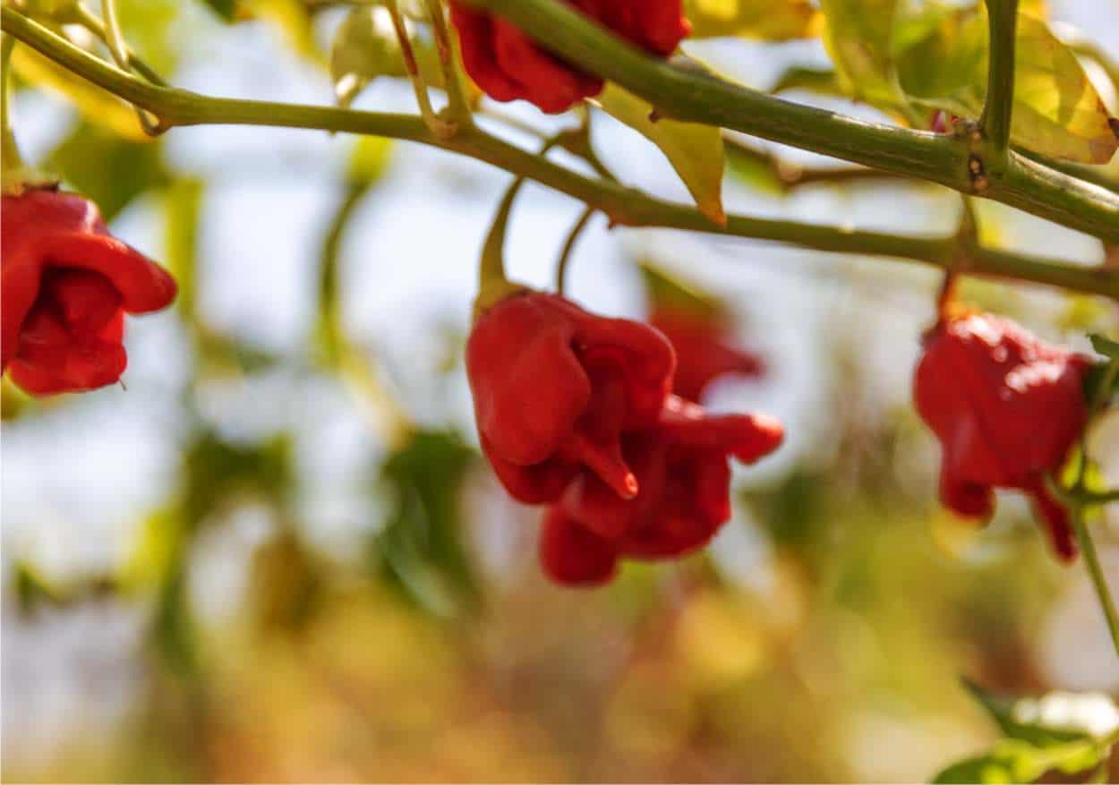 Carolina reaper: il peperoncino più piccante del mondo