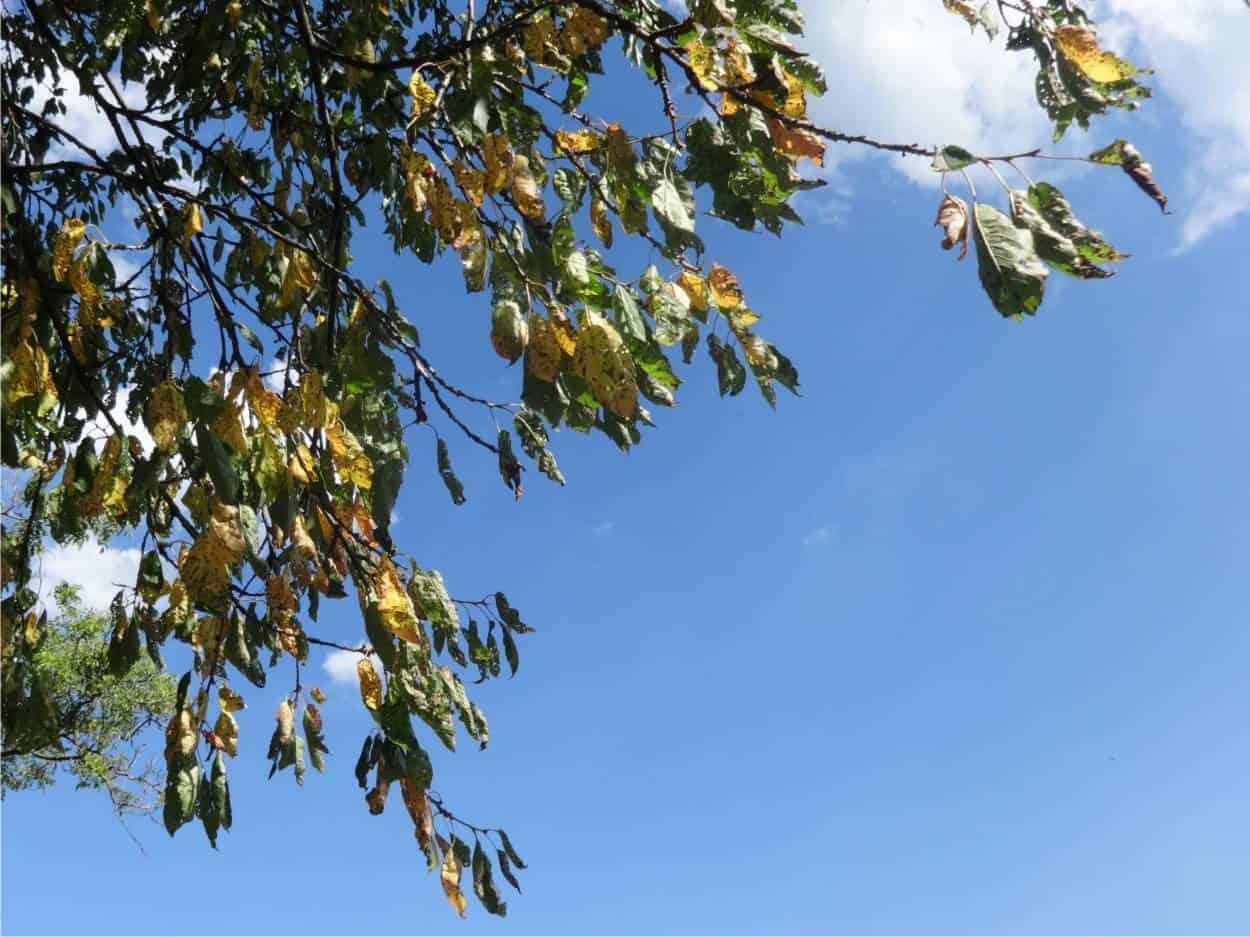 chioma malata ciliegio