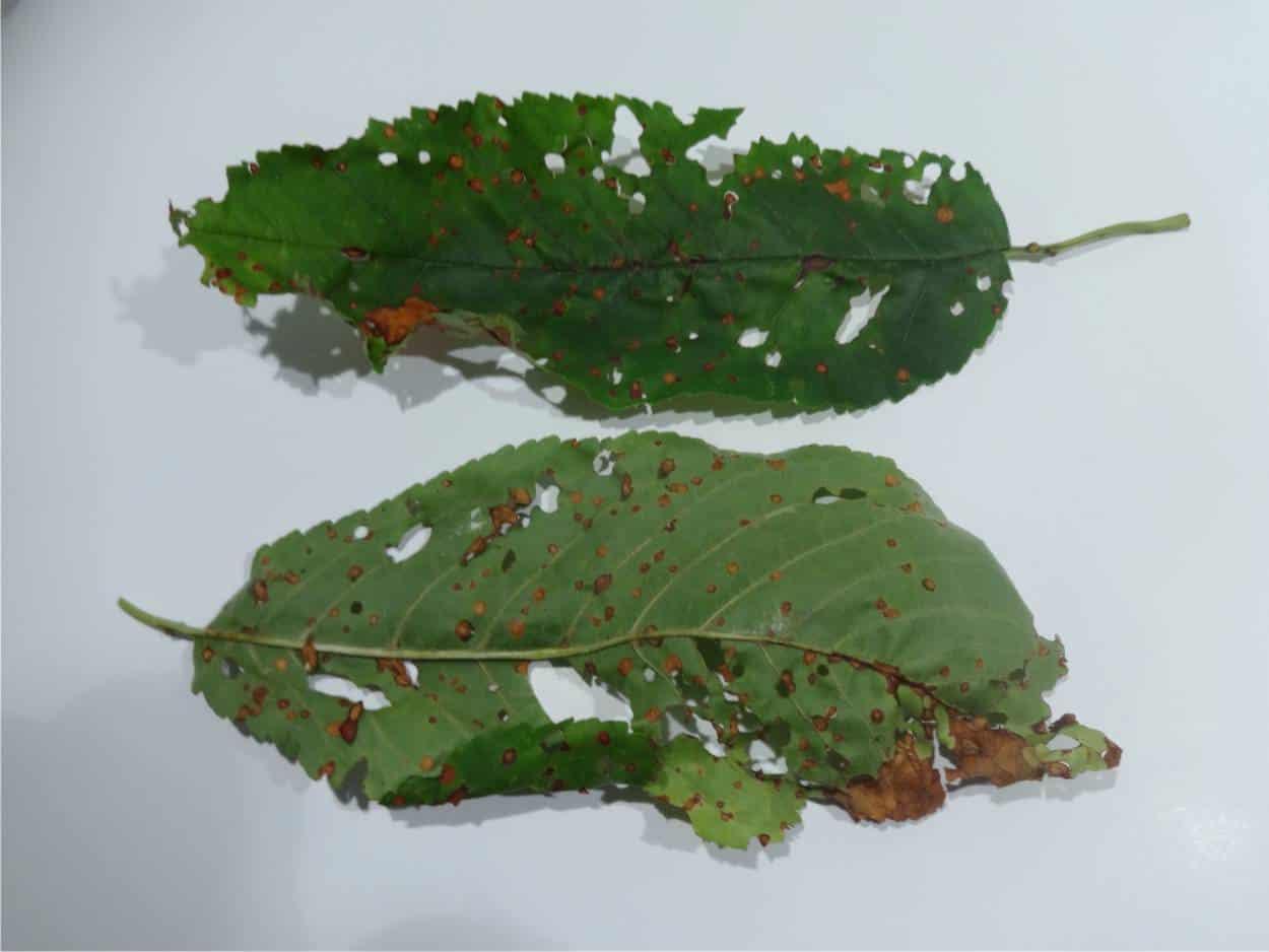 vaiolatura su foglie di ciliegio