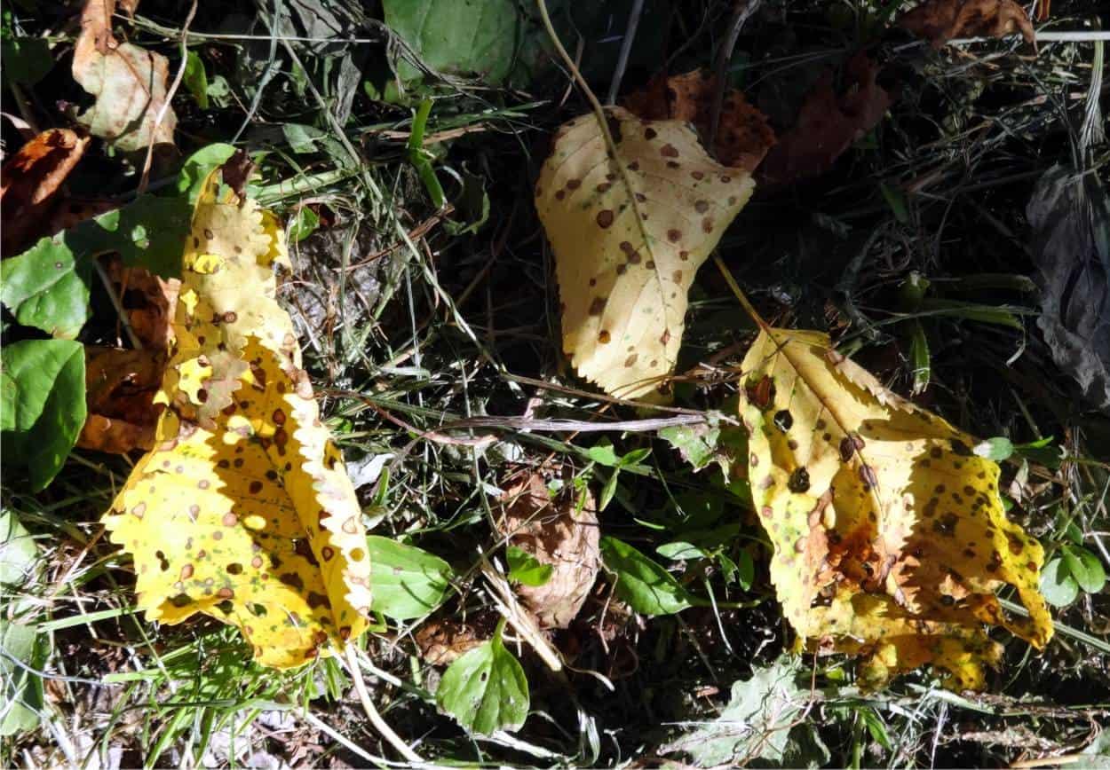 residui di foglie