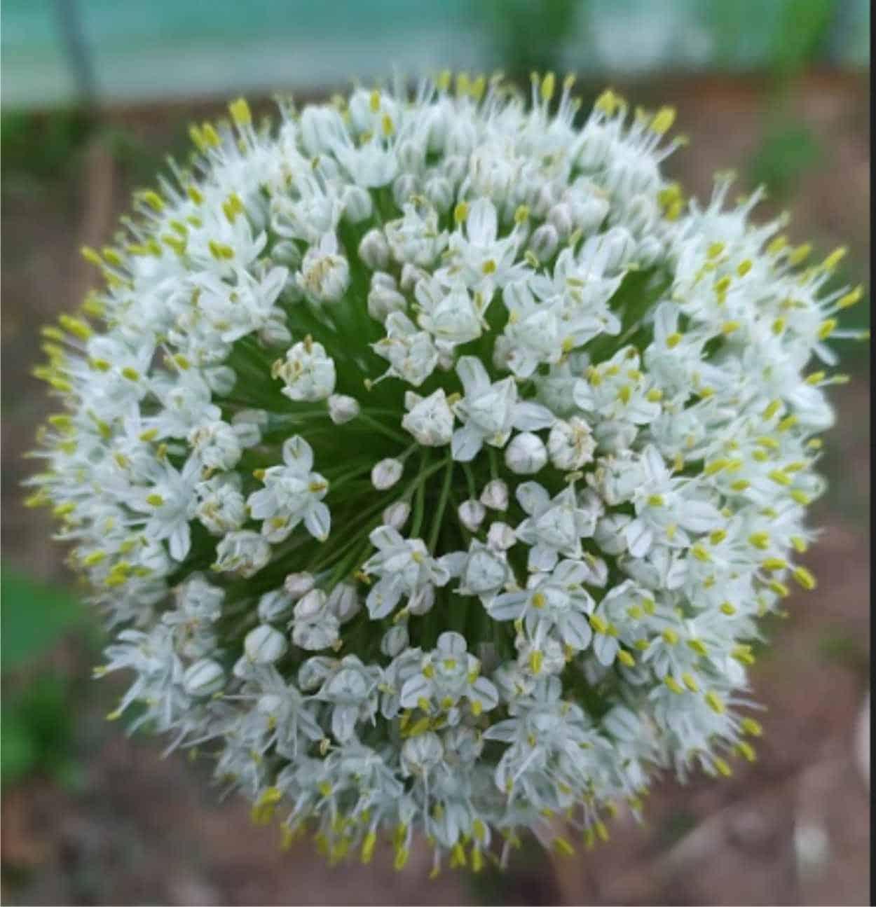 fiore della cipolla