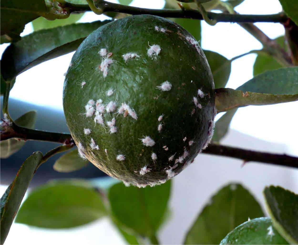 Cocciniglia cotonosa degli agrumi: riconoscerla ed eliminarla