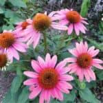 Echinacea: coltivazione e proprietà