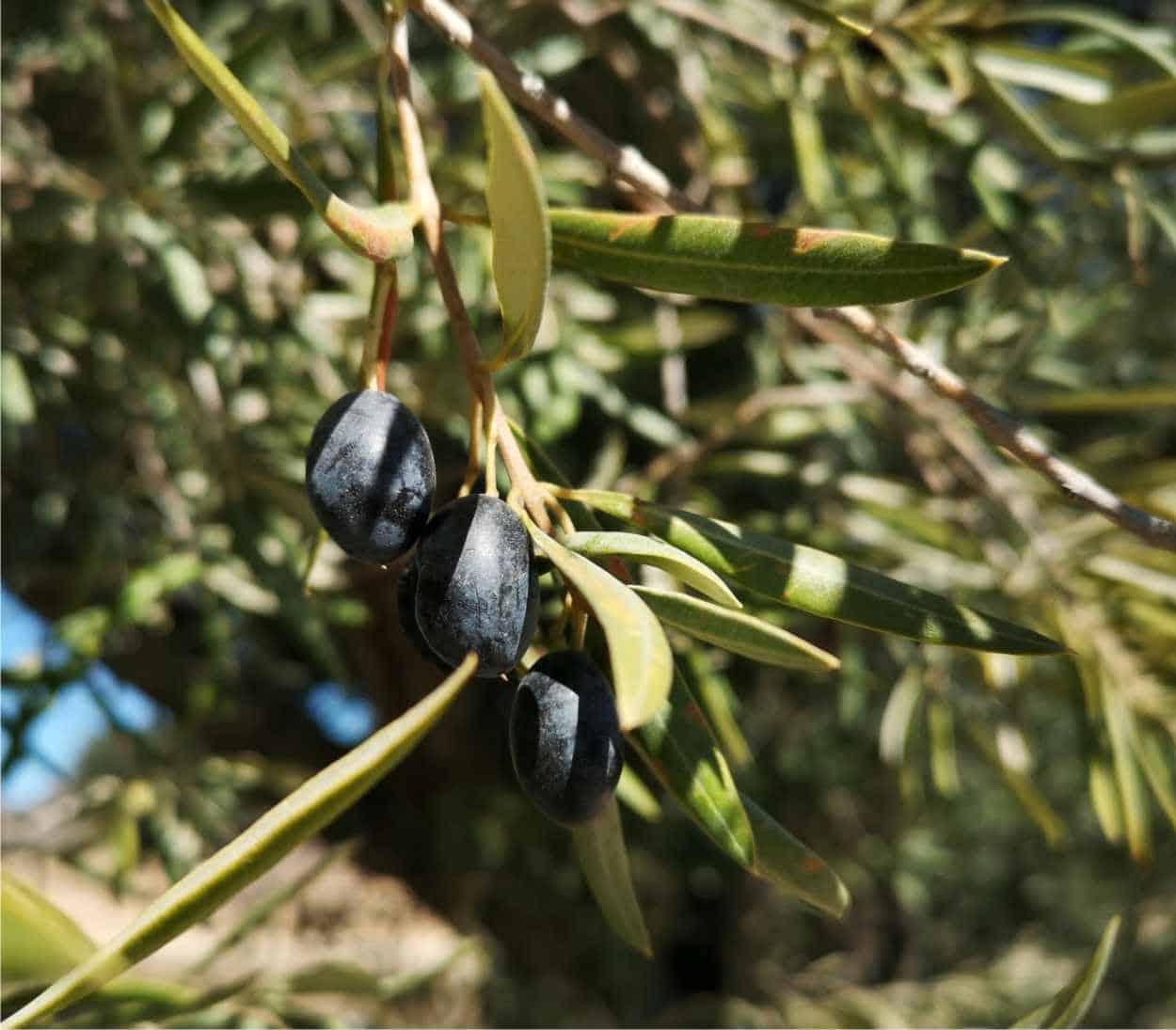 Varietà di ulivo: le principali cultivar italiane