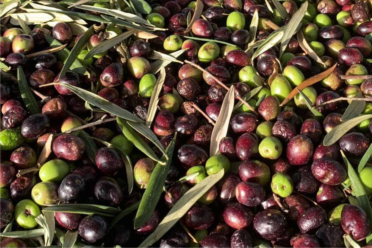 raccolto olive