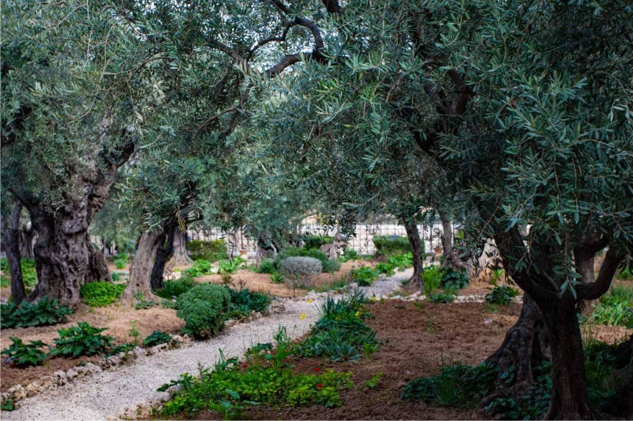 oliveto puglia