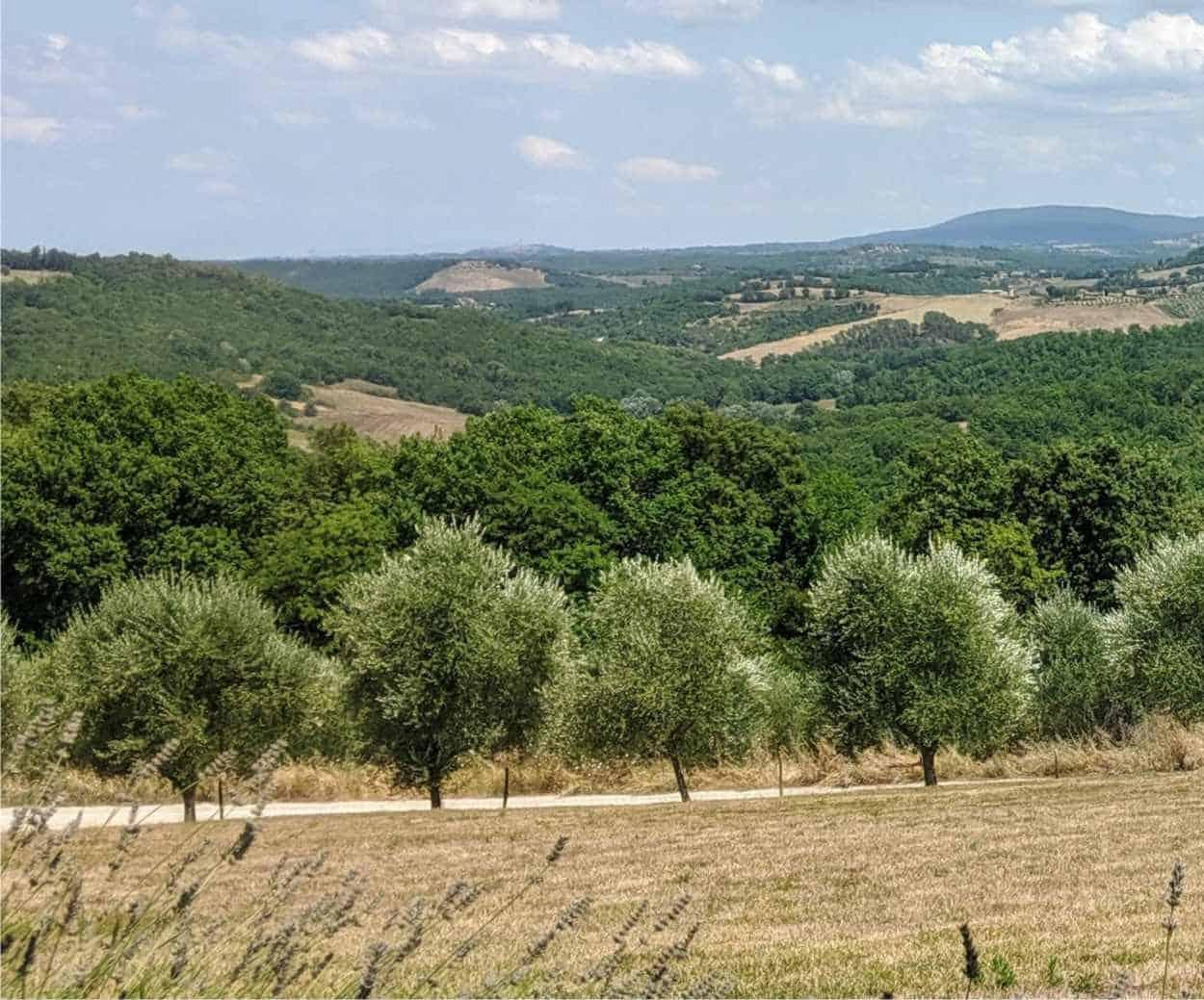 olivi toscana