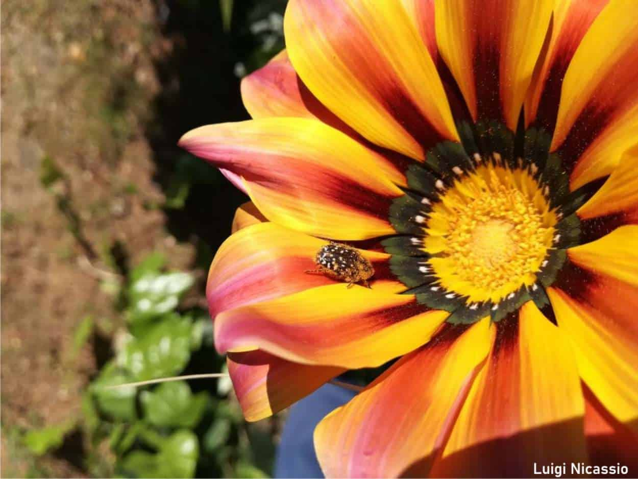 insetto su fiore