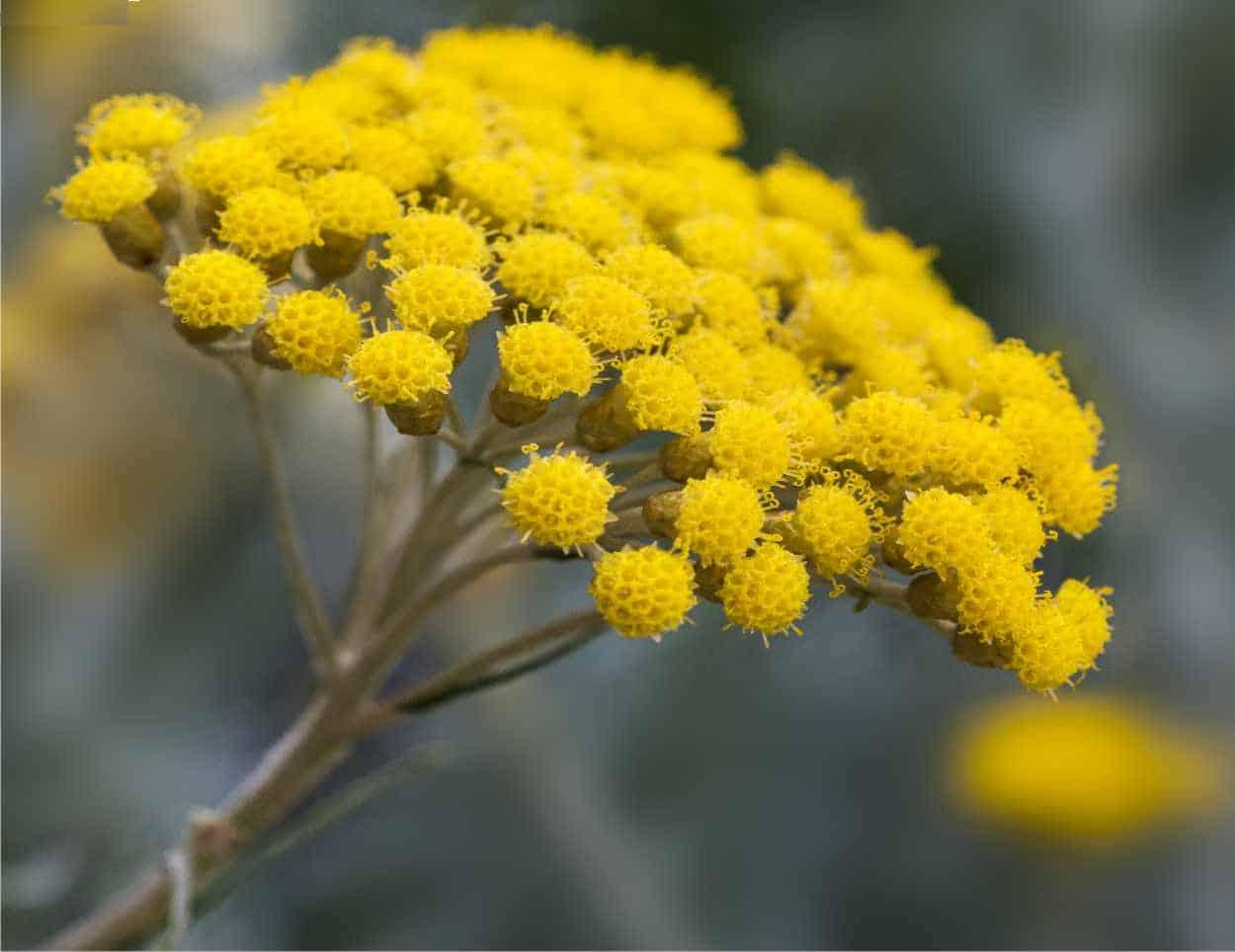 fiore elicriso