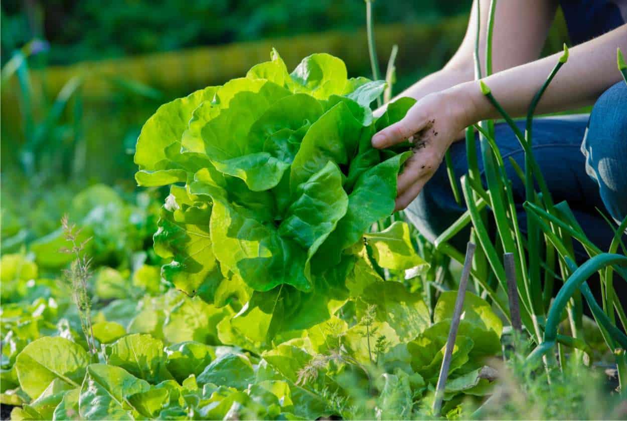 insalata biologica