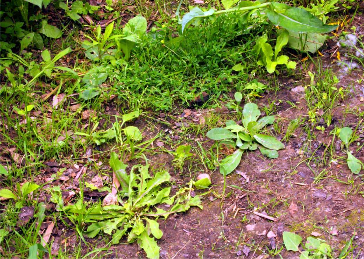 Capire il suolo analizzando le erbe spontanee