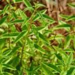 Erba luigia: coltivazione e proprietà dell'erba cedrina