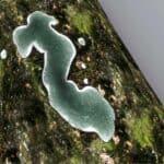 funghi antagonisti
