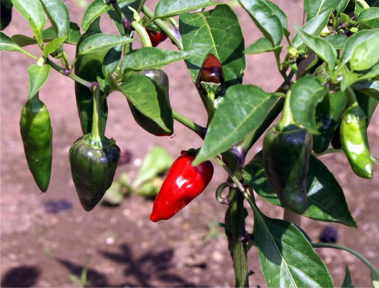 peperoncini jalapeno sulla pianta