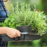 Rinvaso delle piante aromatiche: quando farlo