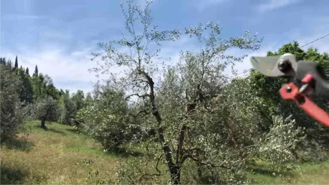 Potare olivi a vaso policonico