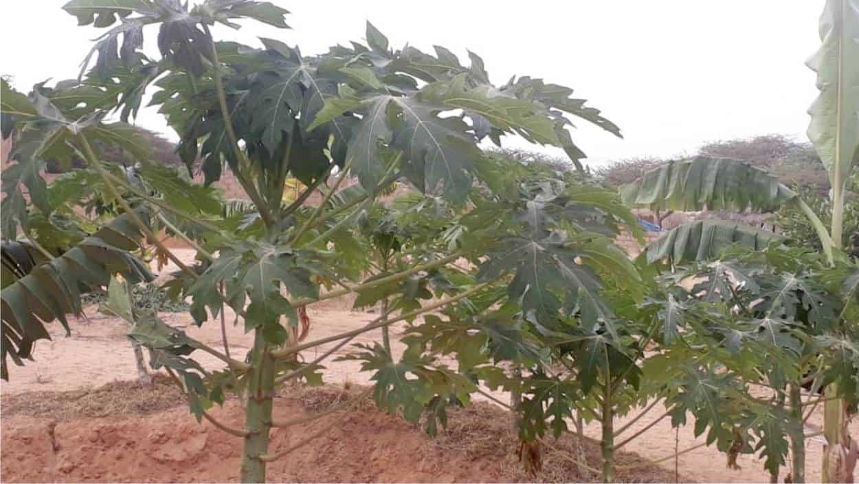 alberi da frutto senza acqua