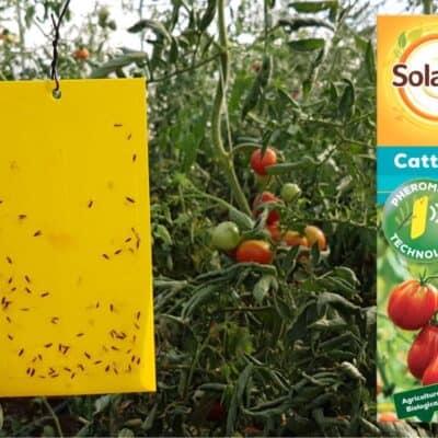 La trappola a feromoni per difendere i pomodori