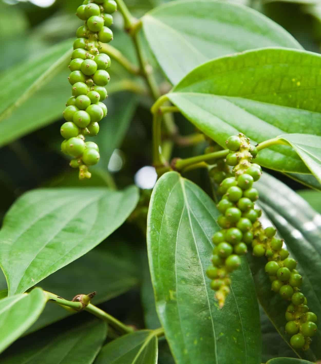 pepe sulla pianta