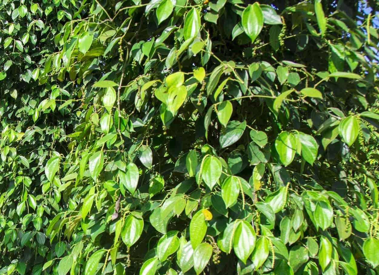 pianta di piper nigrum