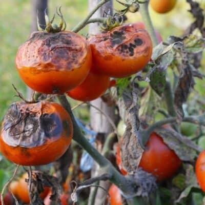 Perché i pomodori marciscono o diventano neri
