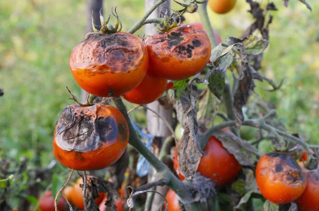 pomodori marci