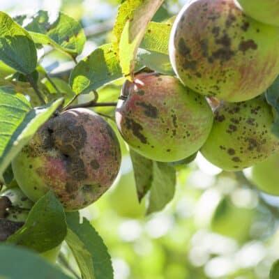 La ticchiolatura del melo