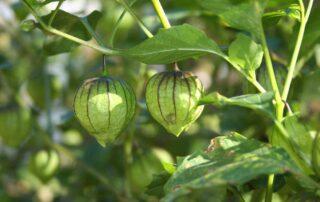 tomatillo coltivazione in orto