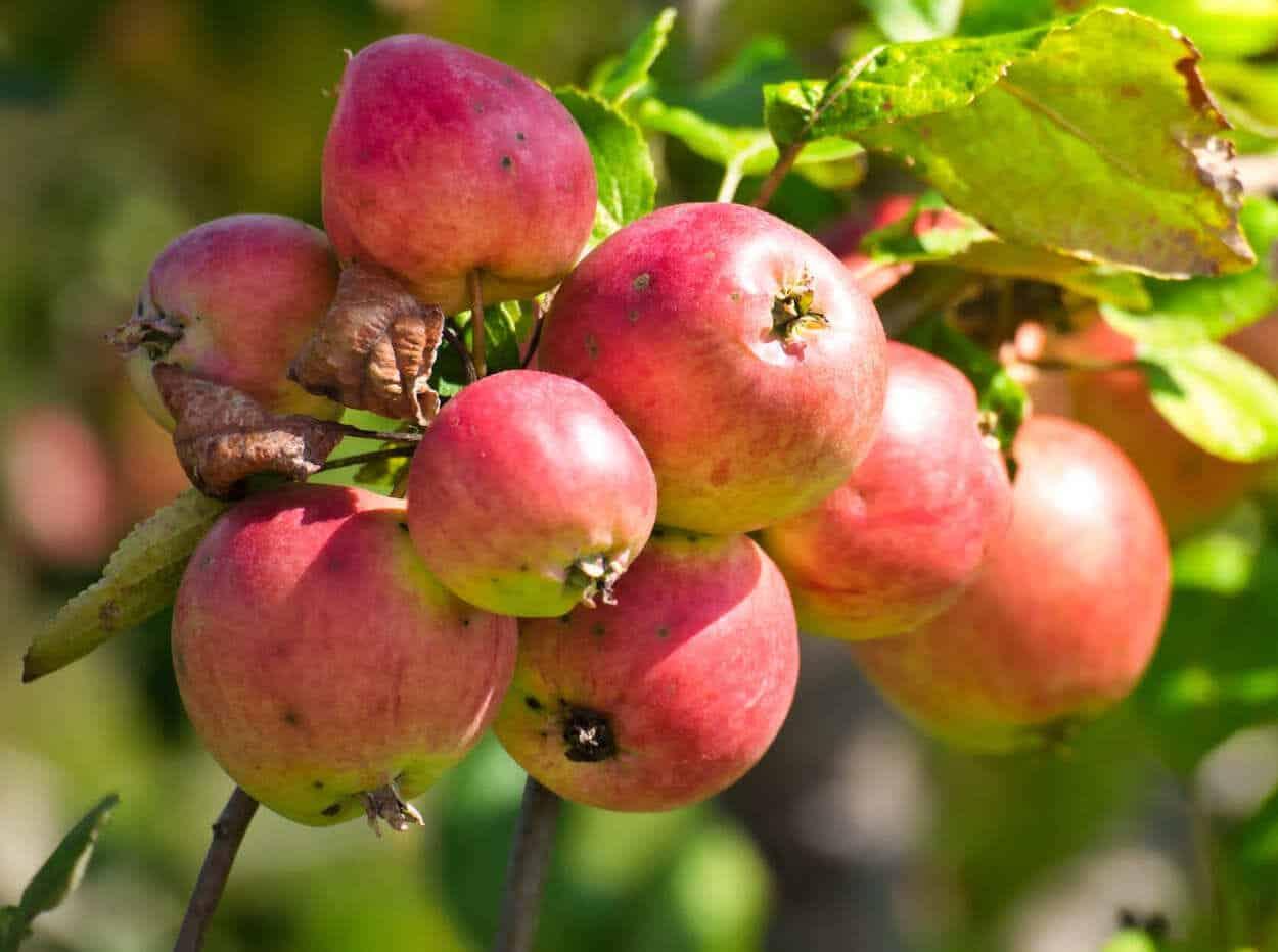 frutta a settembre, mele